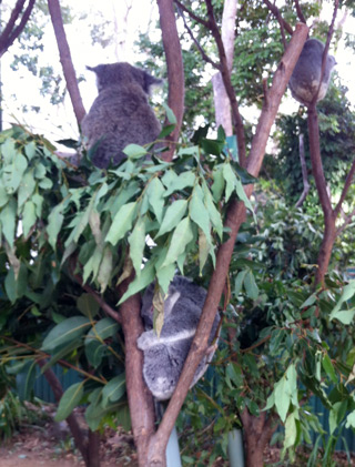 Koalas doing what koalas do